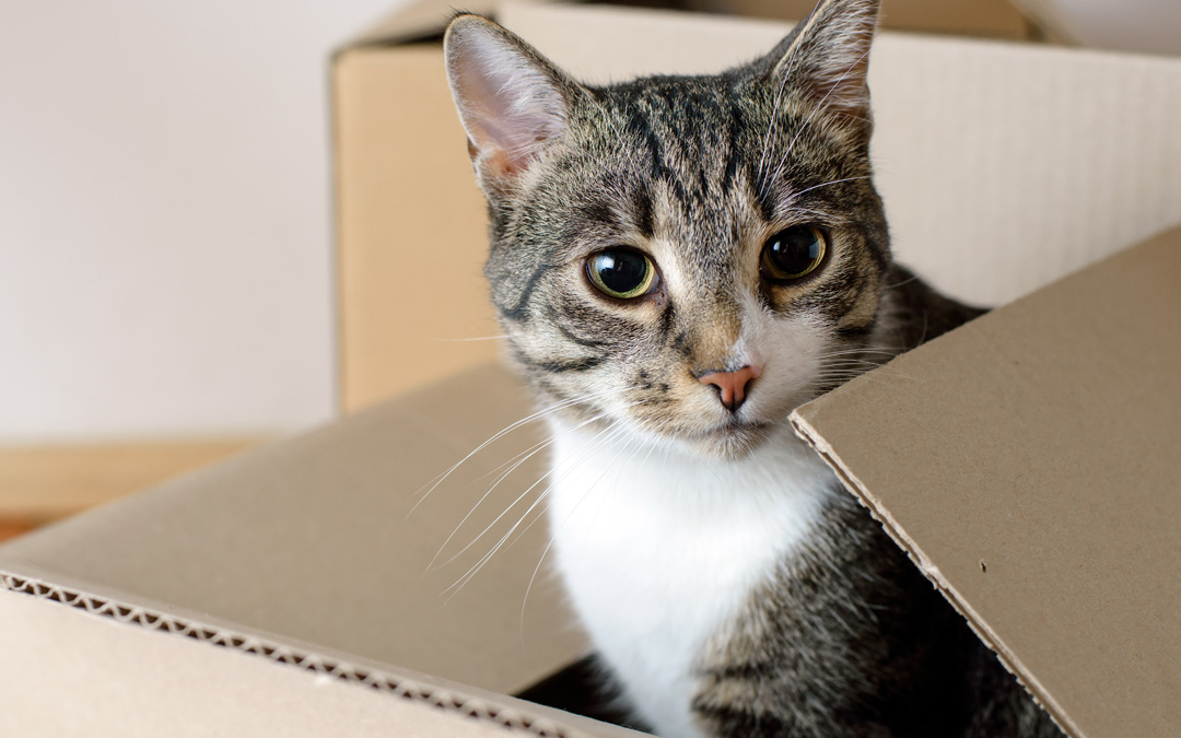 7 Lovable Reasons (& 2 Videos!) Why Cats Love Boxes